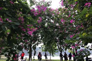 Hoa ban tím khoe sắc bên hồ Thiền Quang