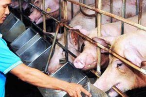 Giá heo hơi hôm nay: Giá ổn định, nhà nông chăm chút từng con lợn