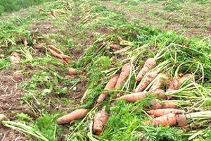 'Mở hàng' đầu năm bằng… 'giải cứu' cà rốt