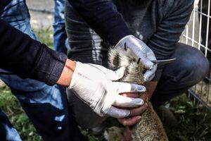 Tranh cãi việc rút móng sư tử con trong sở thú để khách chơi đùa