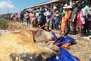 Người dân xử lý xác cá voi trôi vào vùng biển Bạc Liêu ra sao?