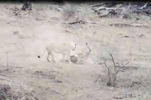Sư tử đực vô tình cứu lợn rừng thoát khỏi 'tử thần'