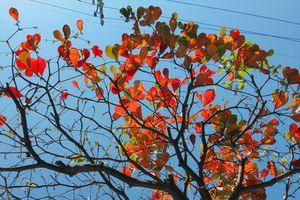 Đẹp ngỡ ngàng mùa bàng thay lá ở Đà Nẵng