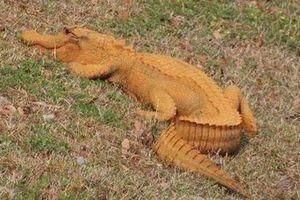 Kinh hãi cá sấu 'cam bí ngô' bò khắp Nam Carolina