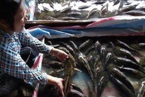 Cà Mau: Nuôi loài cá này, dân trúng lớn, bán giá 540.000 đồng 1 ký