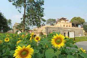 Vườn hoa hướng dương nở trong Hoàng thành Thăng Long