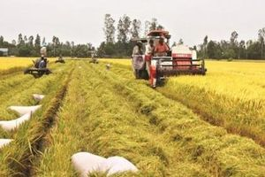 Chiều nay, Chính phủ sẽ họp bàn giải quyết vấn đề lúa gạo xuống giá