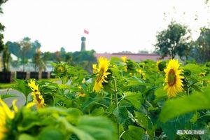 Mê mẩn ngắm vườn hoa hướng dương tuyệt đẹp tại Hoàng thành Thăng Long
