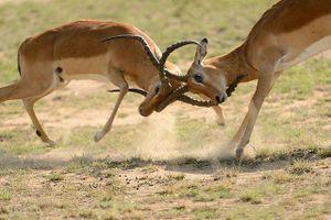 Màn quyết đấu không khoan nhượng giữa 2 con linh dương