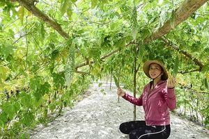 Nông dân vùng biển Triệu Phong phát triển kinh tế từ cây mướp đắng trên đất cát bạc màu