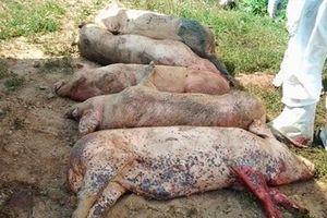 Dịch tả lợn Châu Phi chưa có vaccine phòng ngừa có lây sang người?