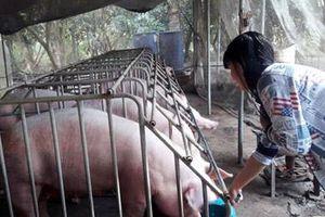Dịch tả lợn châu Phi không gây nguy hiểm cho người