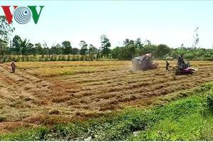 Vụ lúa đông xuân nông dân Vĩnh Long không có lãi