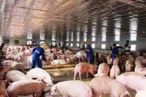 Tập trung dập dịch tả lợn châu Phi