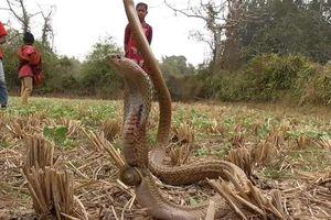 Giải cứu rắn hổ mang mắc kẹt trong vỏ ốc sên