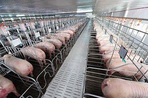 Sau Hưng Yên và Thái Bình, Hải Phòng đã bị nhiễm dịch tả lợn Châu Phi