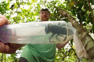 Tìm thấy lại loài ong lớn nhất thế giới