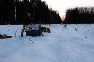 3 công nhân tốt bụng cứu 'chú chó' từ dưới sông băng, mang đến trạm cứu hộ mới biết là sói