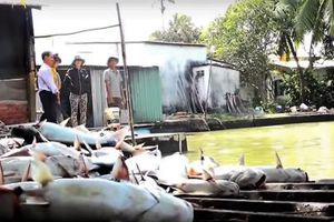Hậu Giang: Hơn 40 tấn cá tra chết bất thường