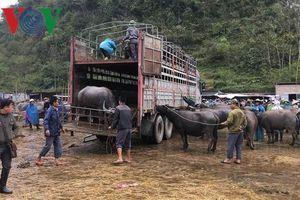 Nhiều khó khăn trong ngăn ngừa dịch bệnh gia súc gia cầm ở Cao Bằng