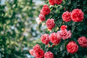 Sắp diễn ra Lễ hội hoa hồng Bulgaria 2019 tại Hà Nội