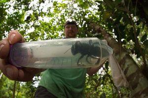 Loài ong lớn nhất thế giới trở lại Indonesia sau 38 năm biến mất