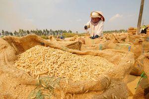 Lúa gạo tăng giá trở lại