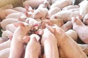 Giá heo hơi hôm nay 25/2: Miền Bắc giảm còn 42.000 đồng/kg vì dịch tả lợn