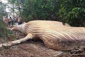 Bí ẩn cá voi 10 tấn chết trong rừng Amazon
