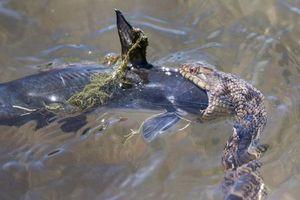Rắn nước ngoác miệng ngoạm chặt đầu cá trê đến tắc thở
