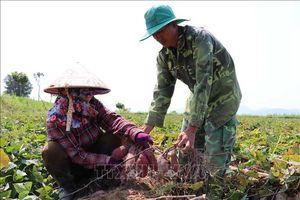 Hàng trăm hécta khoai lang ở Gia Lai trước nguy cơ mất trắng