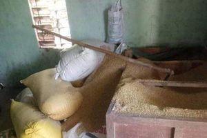 Một người dân báo mất 49 cây vàng giấu trong thùng lúa