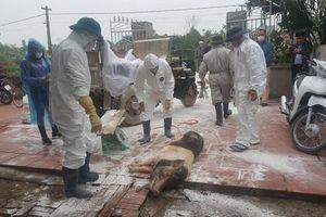 Thái Bình: Căng mình phòng chống lây lan dịch tả lợn châu Phi