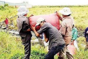 Trên 7 triệu tấn lúa ở ĐBSCL cần tiêu thụ gấp