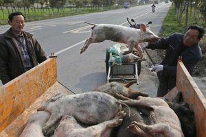 Hưng Yên, Thái Bình khẩn cấp chống dịch tả lợn châu Phi