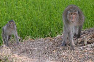Xử lý bầy khỉ hoang thường xuyên cắn người ở xã Tham Đôn, Sóc Trăng