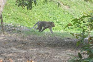 Bắn hạ khỉ đực đầu đàn hung dữ cắn nhiều trẻ em ở Sóc Trăng