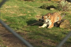 Lạ lùng vườn thú cho khách tham quan kéo co với hổ, sư tử