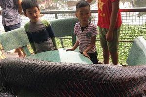Thực hư thông tin bắt được cá hải tượng khổng lồ hơn 100kg trên sông Nhuệ