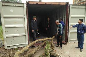 Dân làng loay hoay trước 'giờ G' bán đấu giá cây sưa 'trăm tỷ'