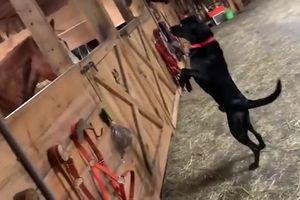 Chú chó phấn khích đứng bằng 2 chân khi lần đầu thấy ngựa