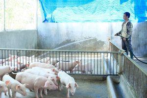 Kiểm soát chặt nguồn gốc, xuất xứ heo tiêu thụ tại TPHCM