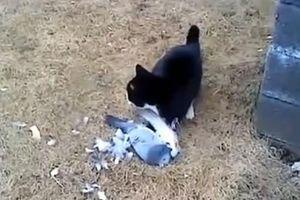Bồ câu giả chết, mèo ú để tuột miếng mồi ngon
