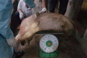 Hải Phòng bắt đầu hỗ trợ nông dân bị dịch tả lợn châu Phi