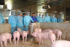 Lào Cai: Thành lập 4 tổ, chốt kiểm soát dịch tả lợn châu Phi