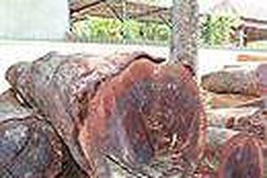 Đắk Nông: 24 bị can bị khởi tố liên quan đến trùm gỗ lậu Phượng 'râu'