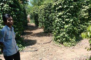 Hồ tiêu rớt giá, dân lao đao - Bài 2: Hệ lụy của việc trồng ồ ạt