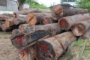Đắk Nông: Khởi tố các bị can trong đường dây gỗ lậu Phượng 'râu'