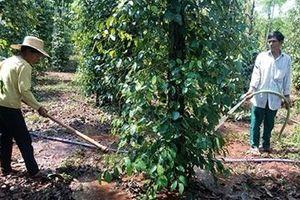 Nông nghiệp Bình Phước trước nguy cơ khô hạn nghiêm trọng