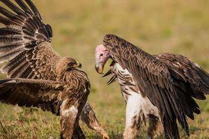 Đại bàng và kền kền đại chiến tranh nhau miếng ăn